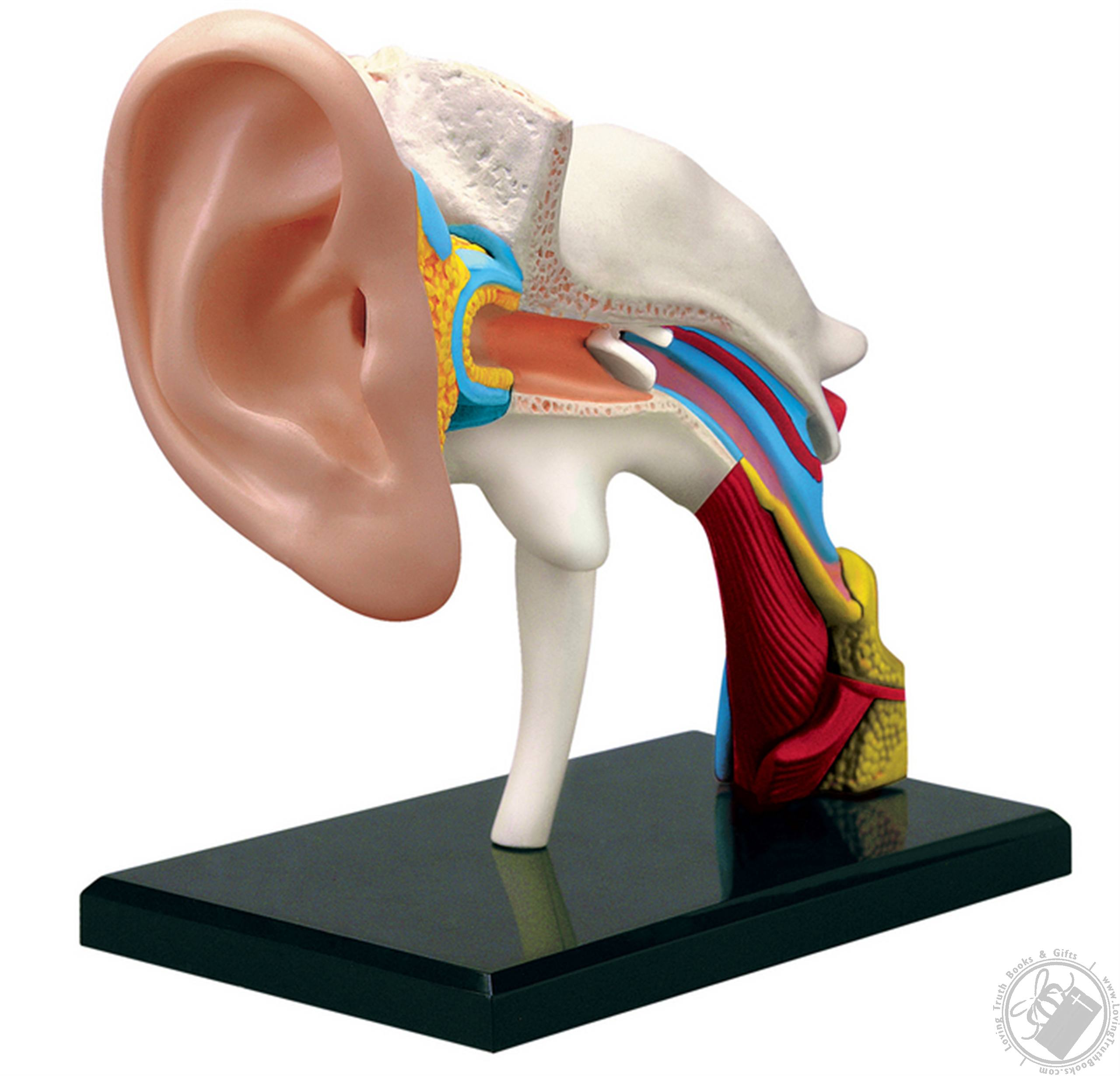 4d Human Anatomy Ear Model 22 Pieces For Ages 8 And Up Biology